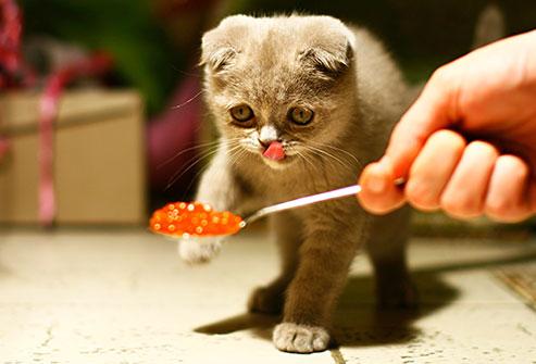 Maistas katems